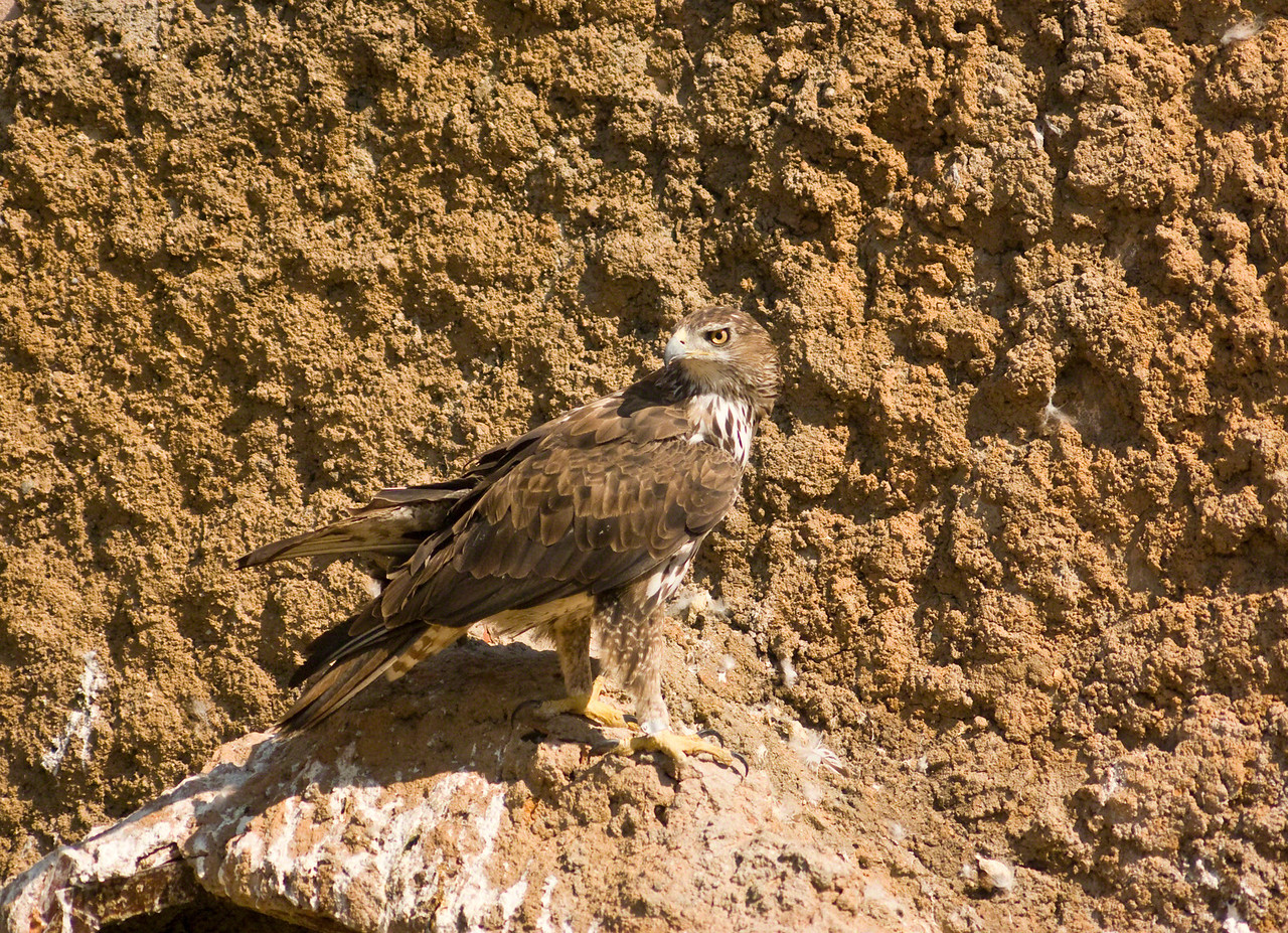 Bonellis Eagle.