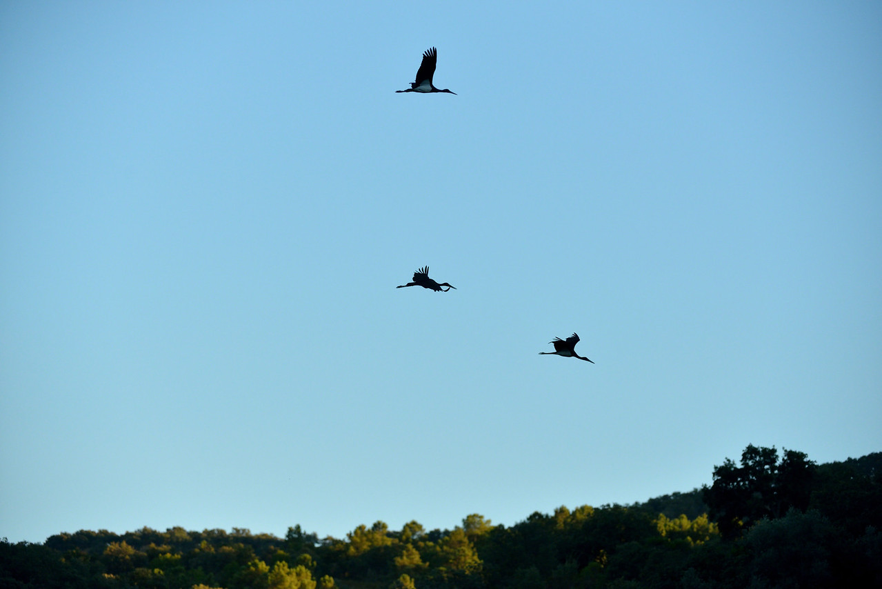Black Storks, flying past in the early evening. Extremadura, Spain