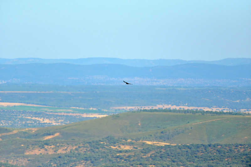 Griffon Vulture soaring over the olive groves and Dehesas of Extremadura, Spain