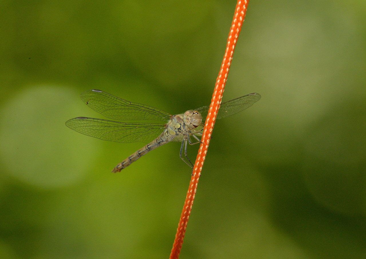 Dragonfly, Guadalupe, Extremadura , Spain