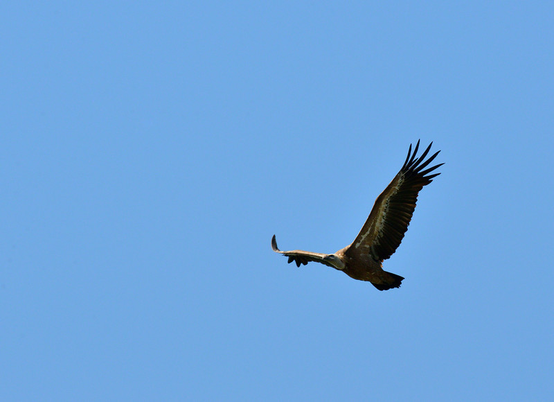 Griffon Vulture soaring at Monfrague, Extremadura, Spain