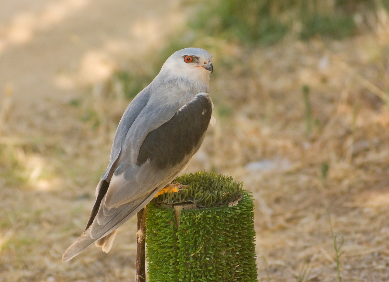 Black Winged Kite.