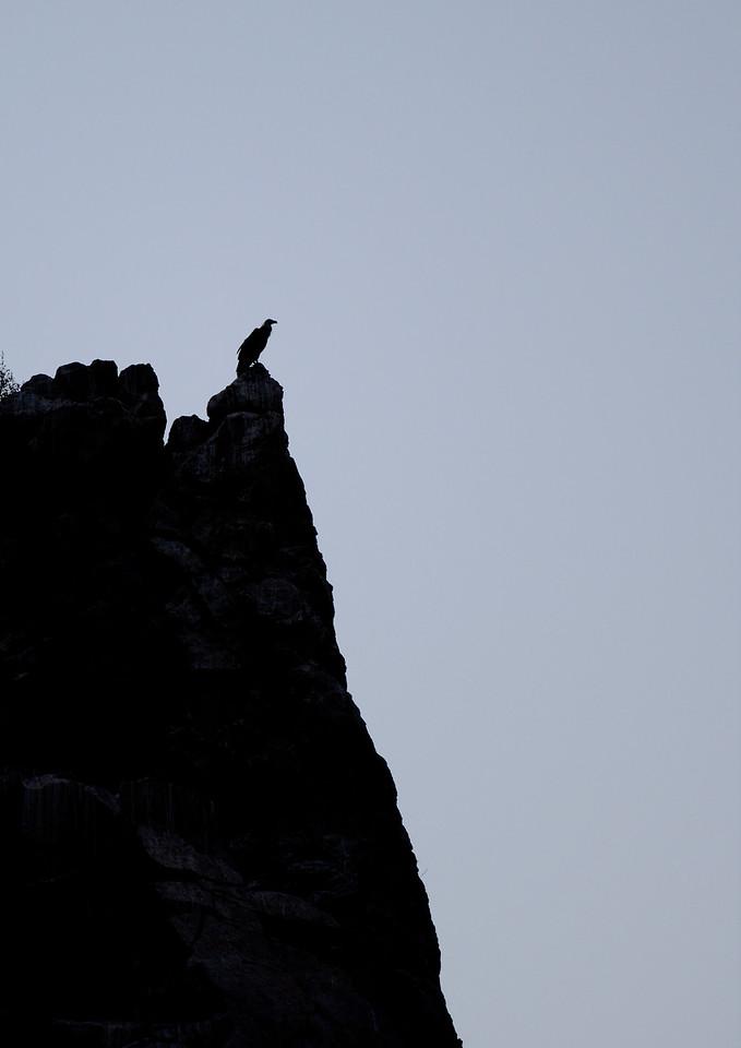 Griffon Vulture - Silhouette