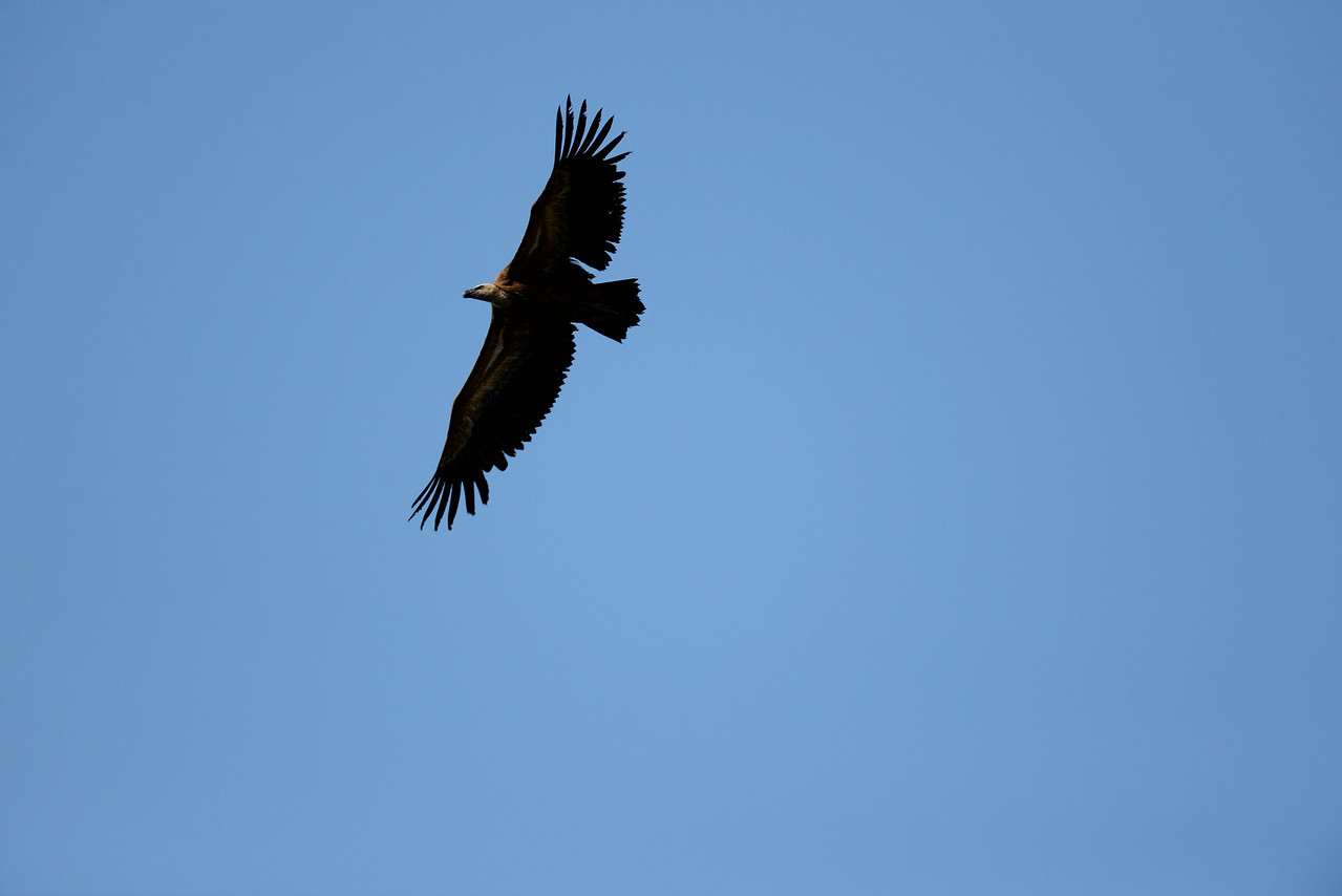 Griffon Vulture - Monfrague