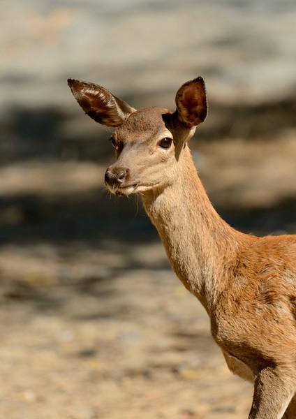 Red Deer Fawn - Portrait