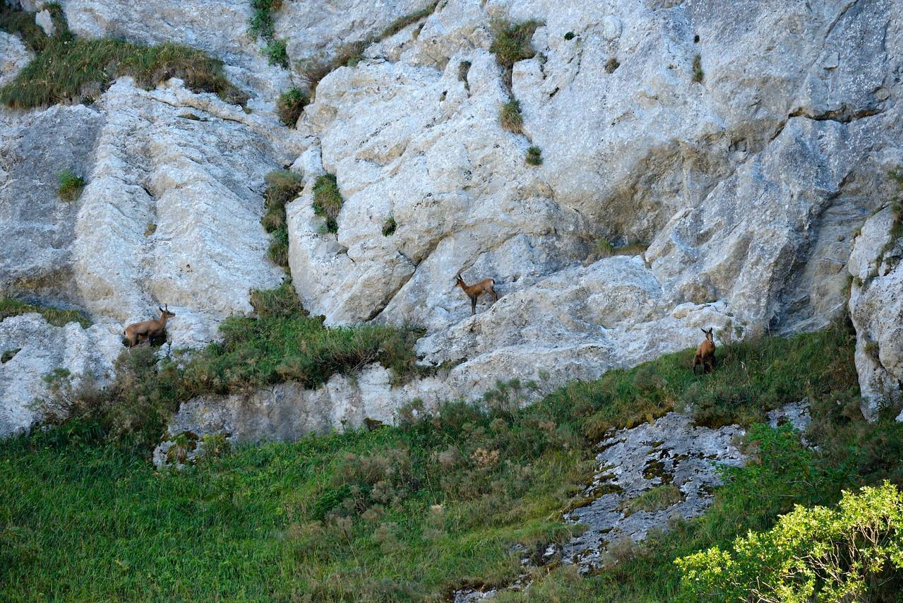 Chamoix near Somiedo