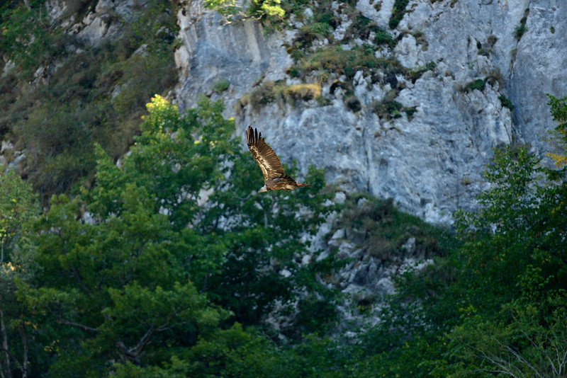 Griffon Vulture near Somiedo