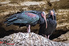 Sleeping Bald Ibis