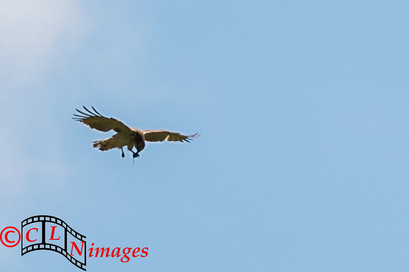 Short-toed Snake Eagle