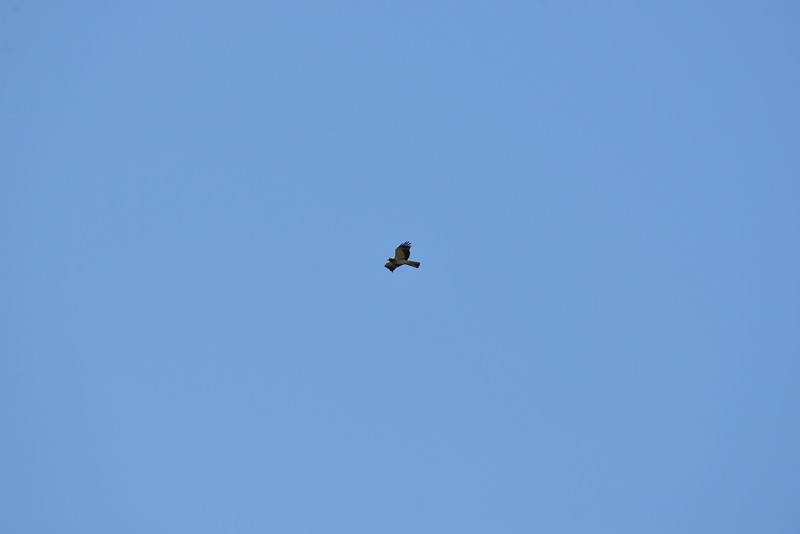Booted Eagle in Flight
