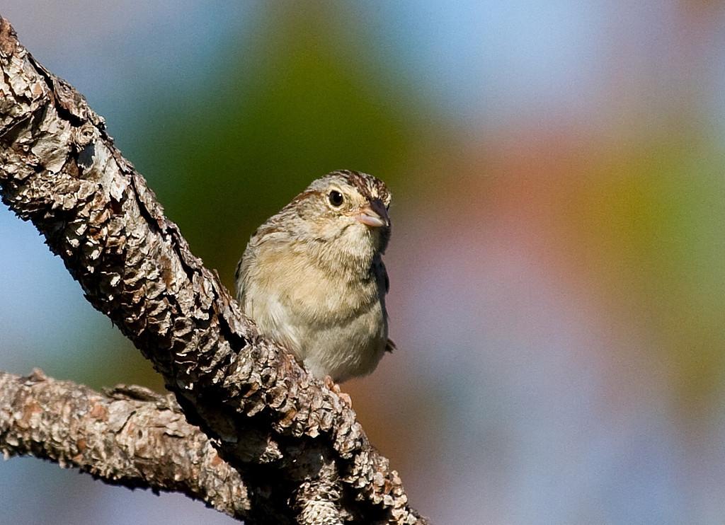 bachmans sparrow