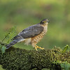 Sparrowhawk (Jan 2014)
