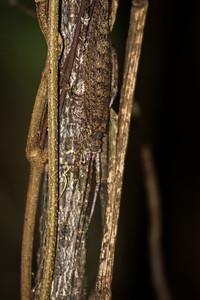 Australian Rainforst Katydid II