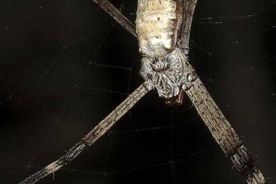 Araneidae, Argiope sp. Darwin Botanic Gardens, Darwin, NT, Australia. January 2011