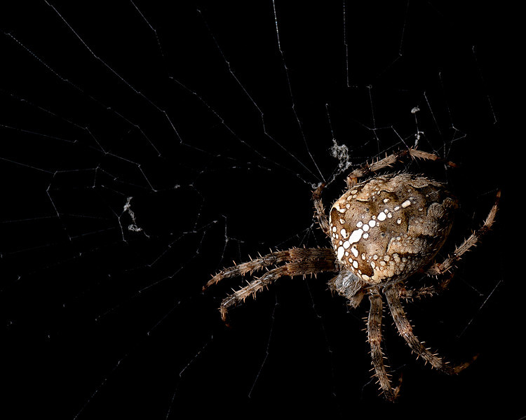 Night Spider - This fellow was living on our front porch. He would only come out at night, so I had to use flash. Set flash on ground pointing up at spider, which was about 6' off the ground. (E-3 ISO100 1/40 f16.0 Spot 100.0mm)