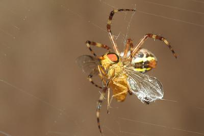 Araneidae. Argiope sp. Kakadu National Park, NT, Australia. January 2011