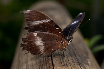 Not 100% sure, but I think that this shaggy guy is a Varied Eggfly (Hypolimnas bolina)