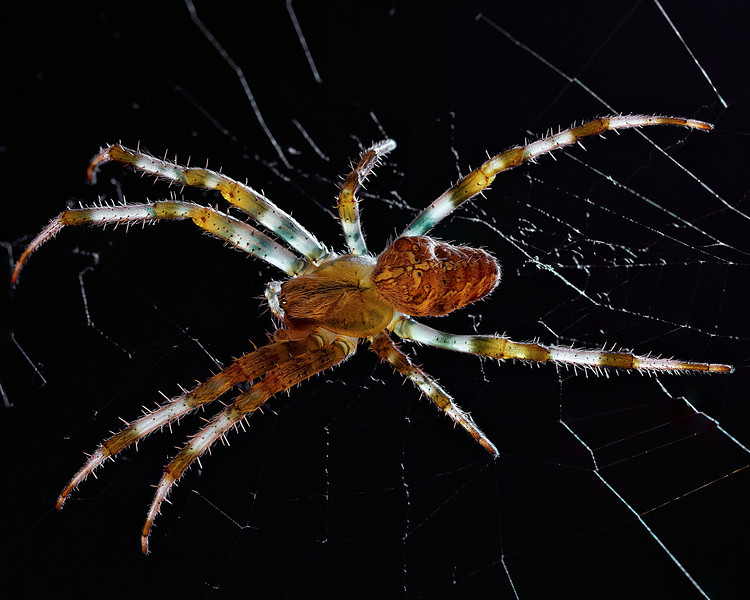 Spider in Garage - This spider was in our garage. Set a black background behind it and shot with natural light coming thru window. Focus stack of ten exposures.