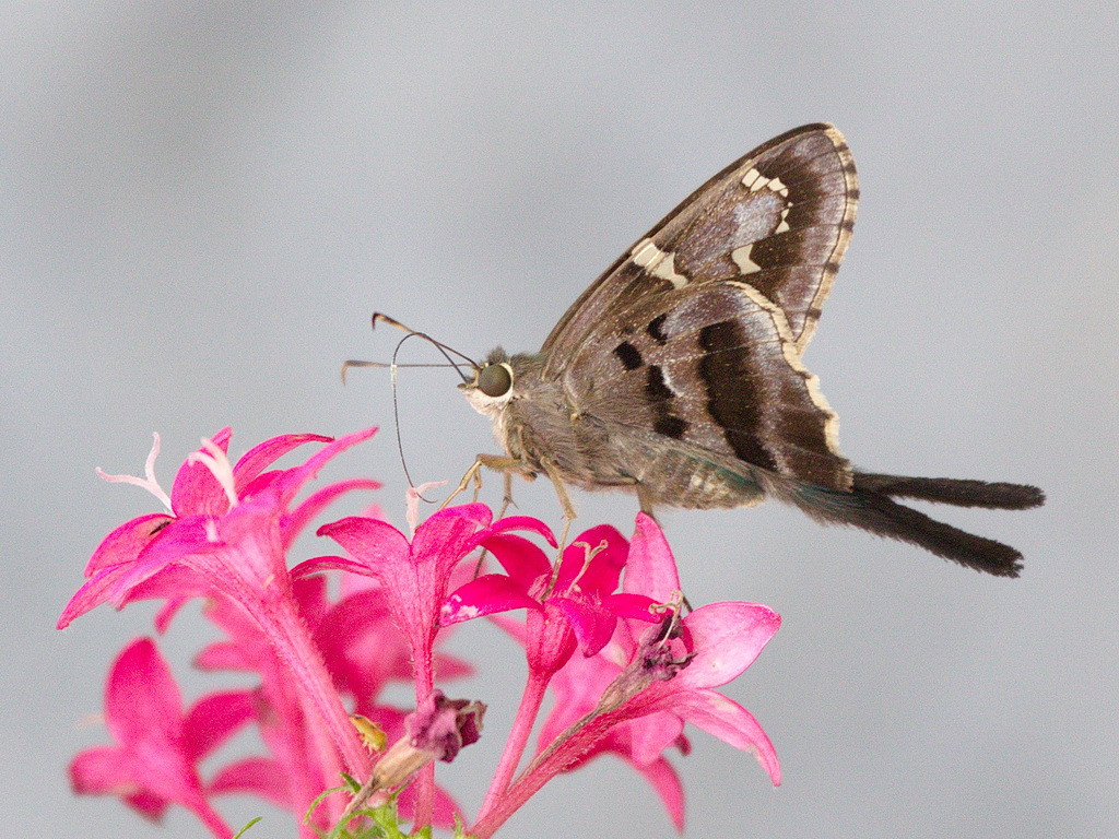 A long-tailed skipper with its silvery proboscis extended.