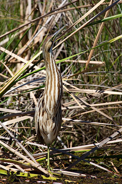 "This is the same American bittern as in the previous photo, but from a different angle. Its stripes and other markings, as well as the angle it holds its head, provide it good camouflage so it can avoid predators while sneaking up on prey. You can hear its call (different from what I remember) here: <a href=""http://identify.whatbird.com/obj/33/_/American_Bittern.aspx"">http://identify.whatbird.com/obj/33/_/American_Bittern.aspx</a>. Scroll down to the ""Songs and Calls"" section and click on the ""Play"" icon to the right of the loudspeaker symbol. DON'T CLICK on the big, green button; IT IS AN AD."