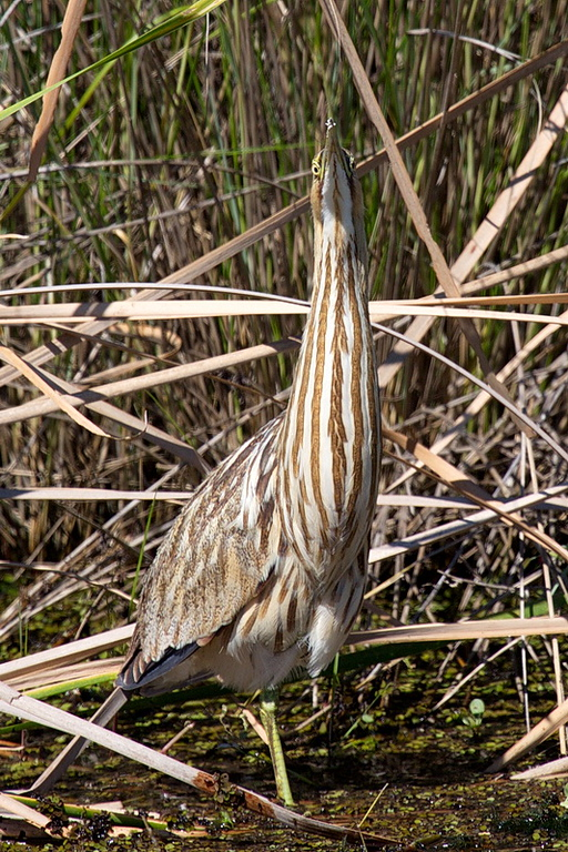 "The American bittern is a fantastic bird, from its ""gunk-ge-goonk"" call to its swaying in the wind to mimic the reeds it hides in. I first saw one in May, 1967, while tent camping at Lewey Lake in the Adirondacks, and its sound was like no other creature I had ever heard. When an adult flies it looks like a feathered ball on a skewer, with a ball of feathers from which extend its neck and head to the front and its legs to the rear. I'm captivated by this bird."