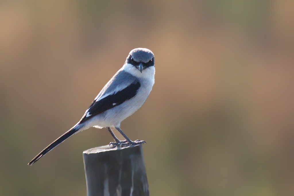A loggerhead shrike staring at the camera. I imagine this is the last view of the shrike that some bug sees before the shrike zooms down with its formidable beak to snatch the bug for dinner.