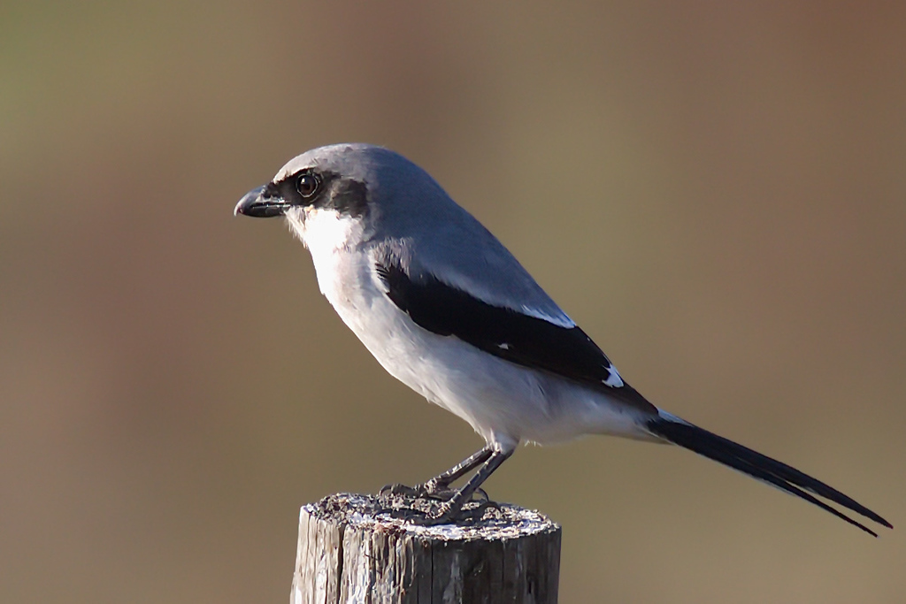 Is that a little bulge in this loggerhead shrike's belly?