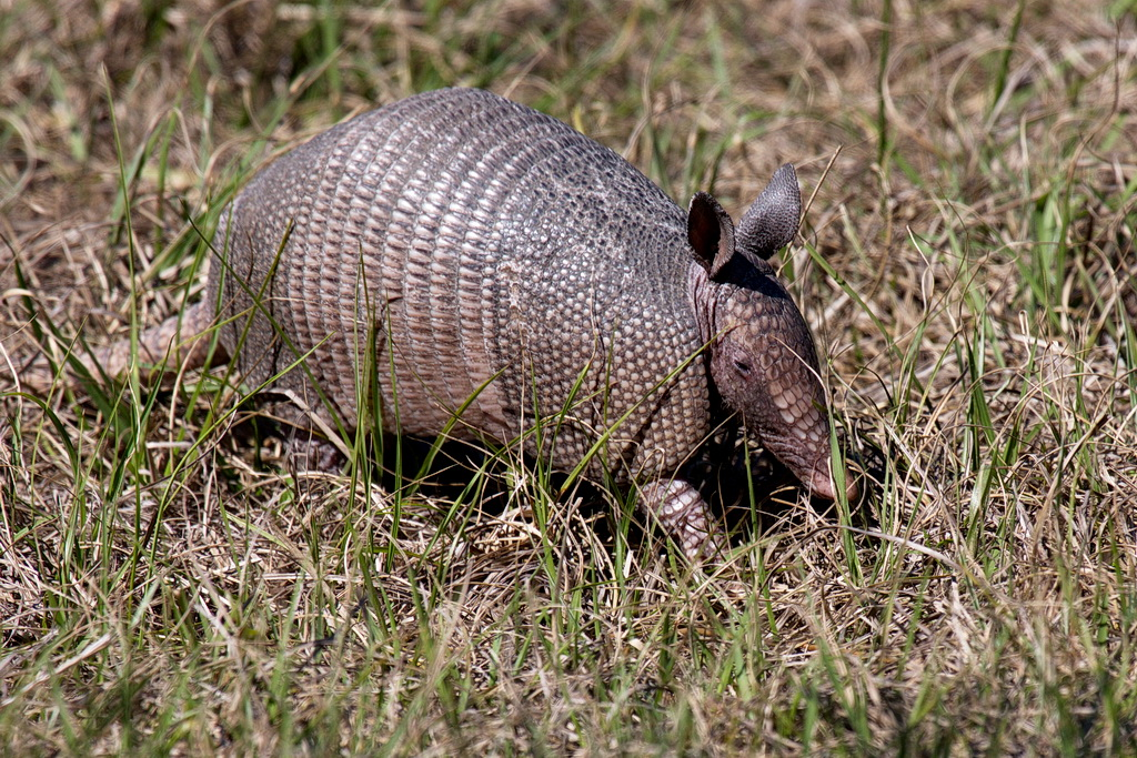 Another critter with a hard (multi-plated) shell, an armadillo. This is the best photo I've ever taken of an armadillo because either it is running away from me so I get a butt shot, or it is looking for food by turning up the ground with its nose, covering its face with dirt, leaves, and grass. And I don't like photographing animals in zoos; where's the challenge?