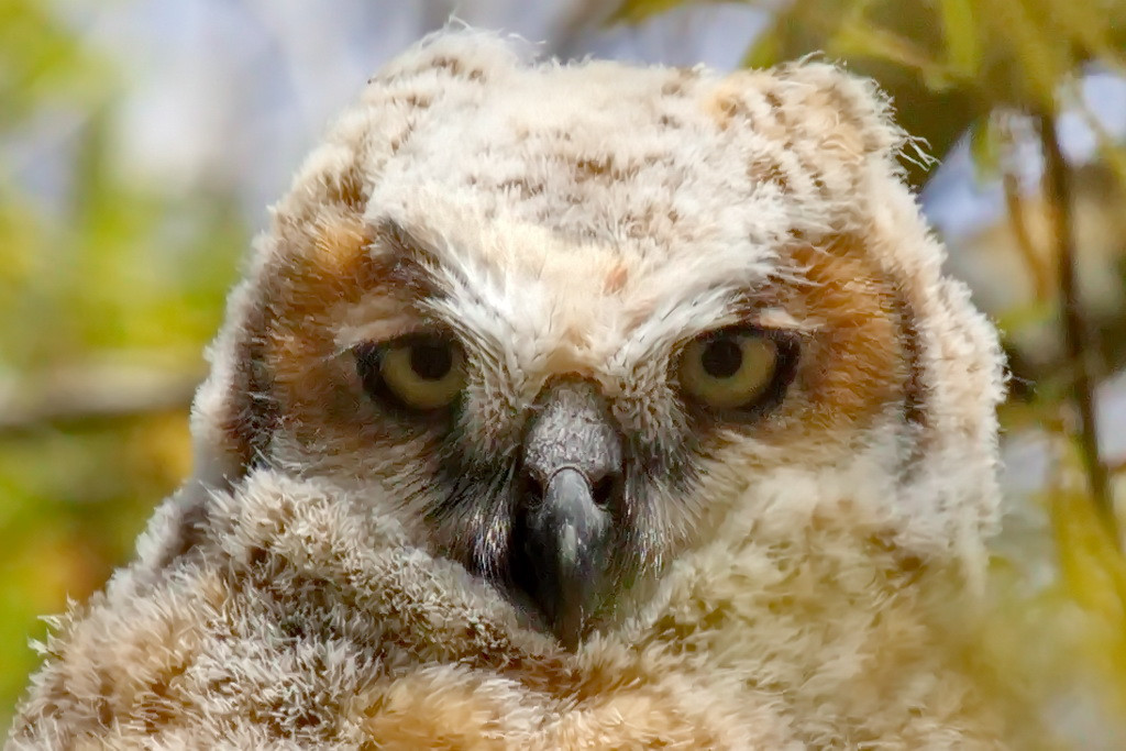 This very young great horned owl chick was hatched in a nest in a tree just a few feet from the windows of the admin building at the Brevard Community College (recently renamed Eastern Florida State College) in Melbourne, FL. So this is a city slicker owl.