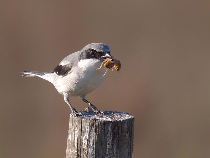 Loggerhead shrike with meal. As I was saying, ...