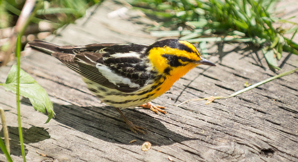 Very tired and very hungry male Blackburnian Warbler on boardwalk, Point Pelee