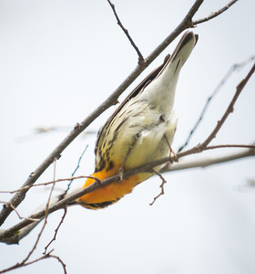 Male Blackburnian Warbler, a more typical view - Point Pelee