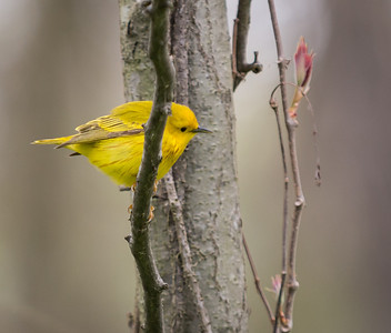 Male Yellow Warbler, Point Pelee