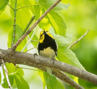 Male Black-throated Green Warbler, Crane Creek