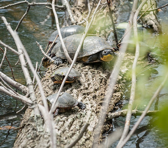 The small turtles are Painted Turtles and the large one is a Blanding's Turtle - Crane Creek