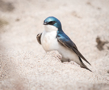 Male Tree Swallow on the beach, Point Pelee.  Barn, Northern Rough-winged and Cliff Swallows were equally well represented in the dozens of swallows.  They occasionally darted after insects but otherwise seemed to be resting after crossing Lake Erie.