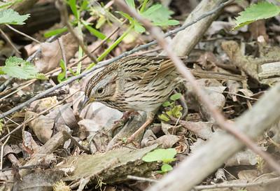 Lincoln's Sparrow, Crane Creek