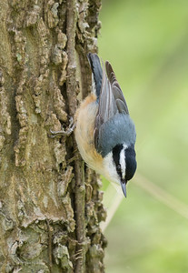 Red-breasted Nuthatch, Point Pelee.  This shot shows the slightly upturned bill.