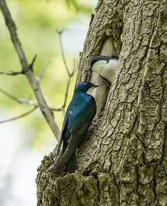 Tree Swallow pair with prime real estate -- a natural cavity -- at Crane Creek.  I found them while trying to locate a beautiful liquid song somewhat like a Purple Martin's -- had never heard TRSWs make that sound.