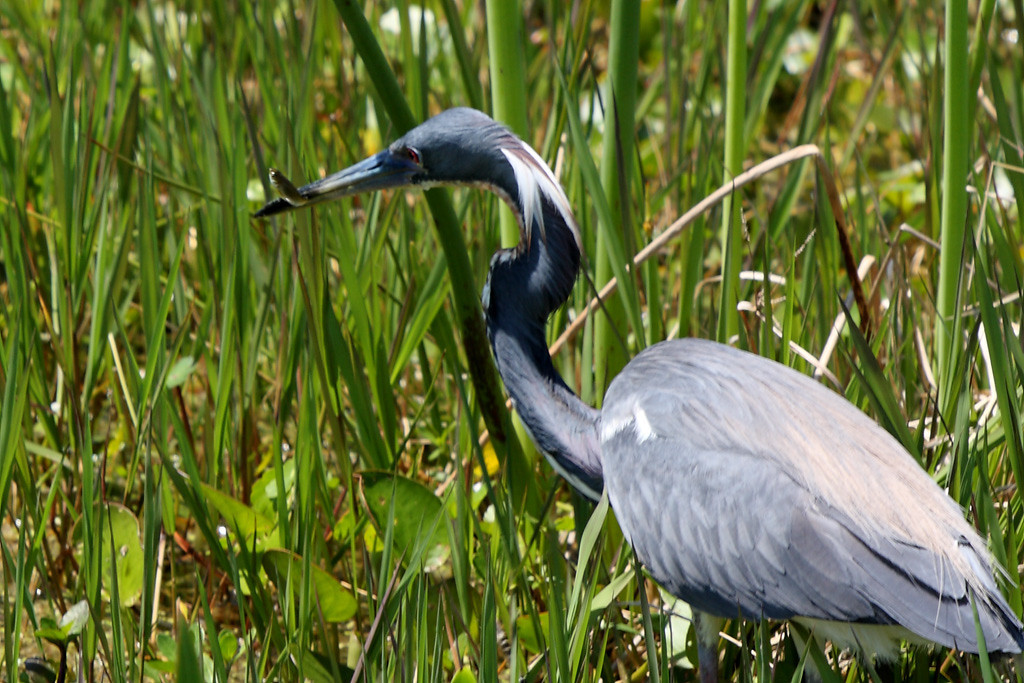 The same tri-colored heron with lunch.