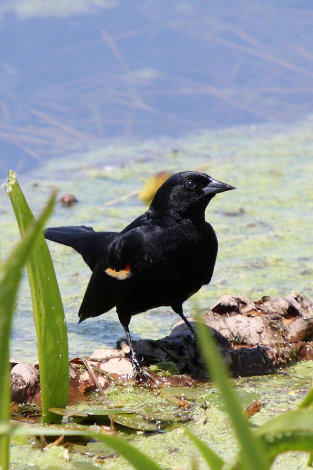 A cute, little, male, red-winged blackbird.