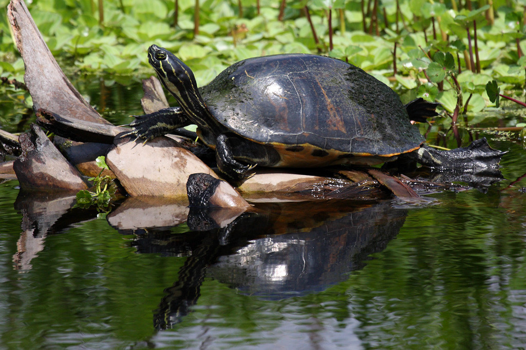 This is the same turtle as in the previous photo, maybe a common cooter.