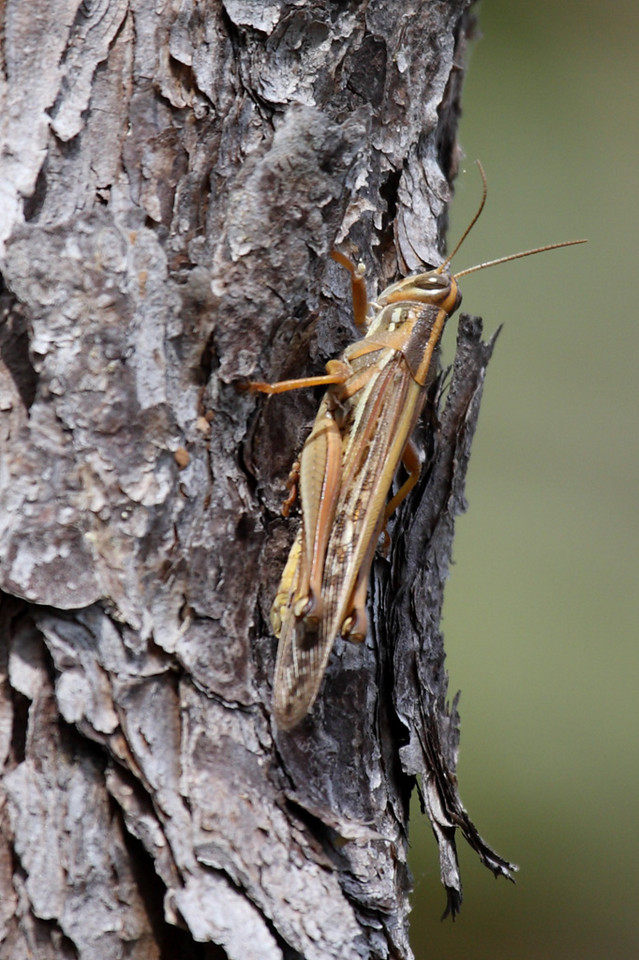 This may be an American tree grasshopper. Or not.