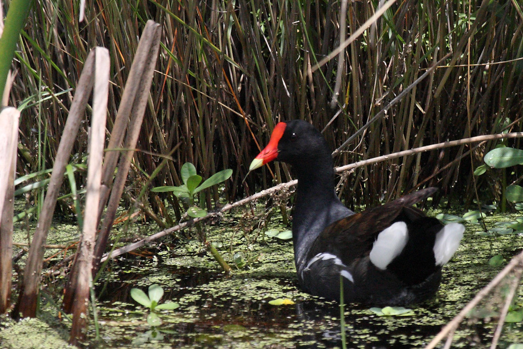 A common moorhen. These birds, and coots, are very common in wetlands down here.