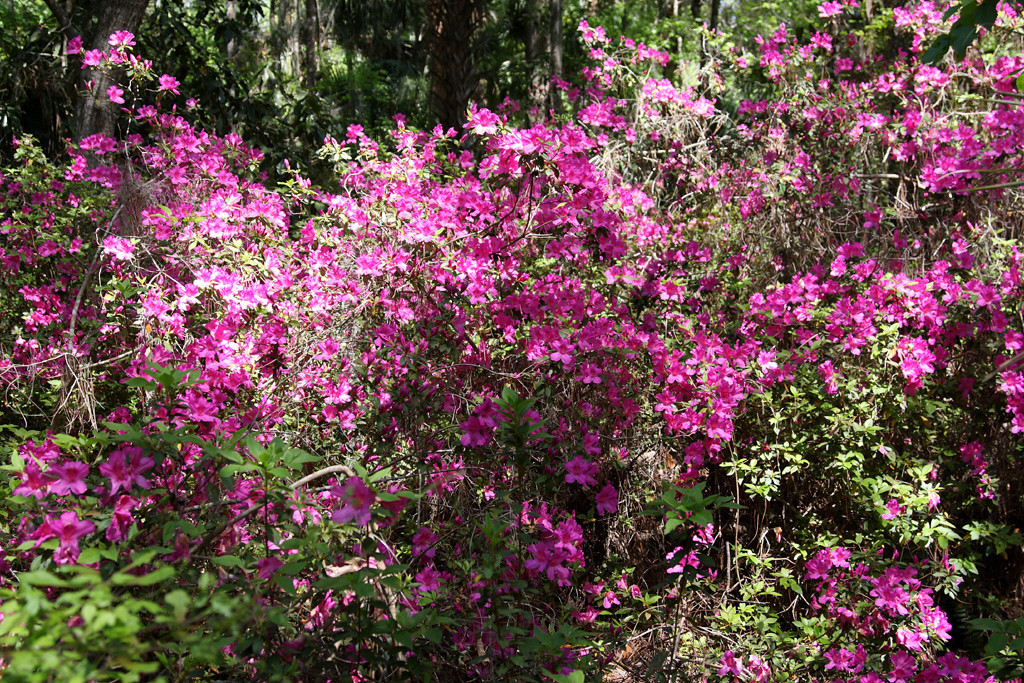 In lieu of healthy pitcher plants, the park offered an abundance of beautiful magenta azalea's instead.