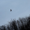 A hawk on the road to Squaw Creek. 3/22/2016