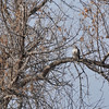 A hawk partially obscured in a big tree.