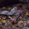 Squirrel Grey russellfinneyphotography (98)
