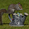 Squirrel Grey russellfinneyphotography (128)