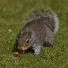 Squirrel Grey russellfinneyphotography (99)